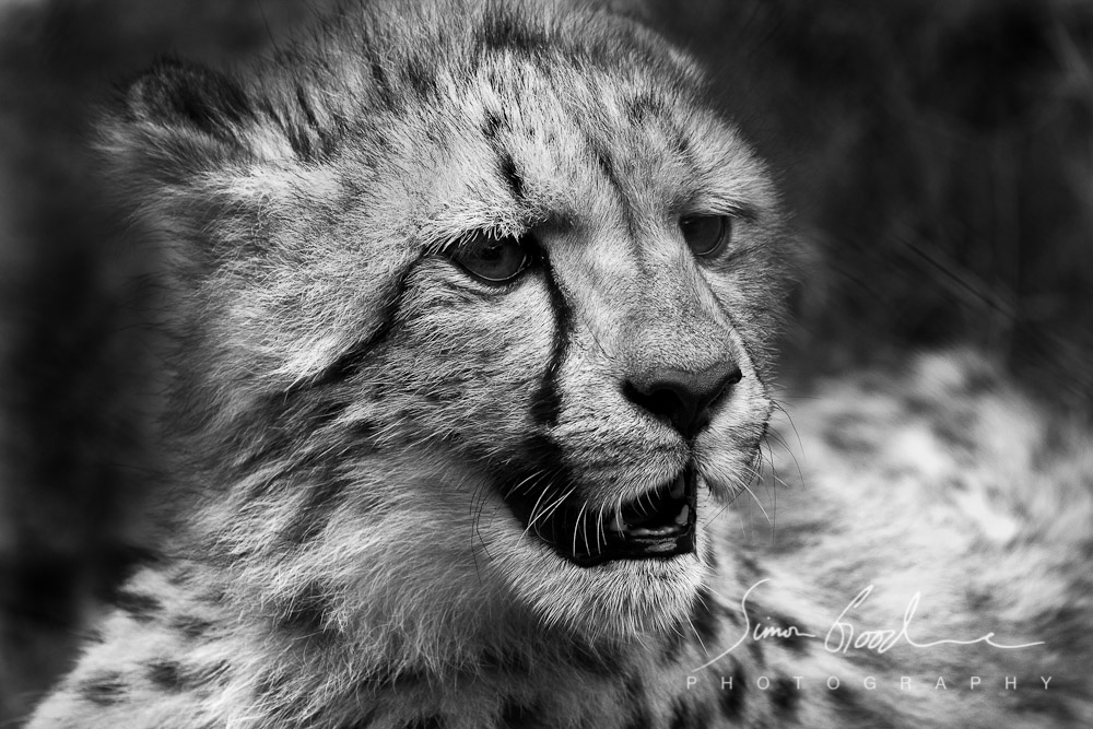 Ann van Dyk Cheetah Centre South Africa Cub Black and White Simon Goodacre Photography